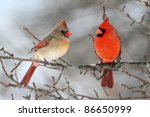 Pair Of Northern Cardinal ...