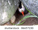 Small photo of Tufted Puffin (Fratercula cirrhata, auk, Alcidae) near burrow (nest), Visible funny head with strange bill and egg. Far East of Russia. (Commander Islands, Pacific ocean)
