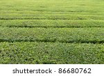 full frame detail of a tea plantation - stock photo
