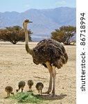 Female Of African Ostrich ...