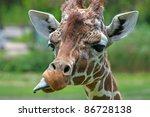 A Giraffe Sticking Out Its...