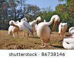 pelicans on ground | Shutterstock . vector #86738146