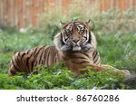 portrait of a sumatran tiger | Shutterstock . vector #86760286