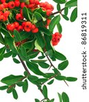 Red Pyracantha Berries On White