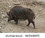 high angle shot of a wild boar... | Shutterstock . vector #86968895
