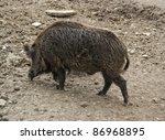 high angle shot of a wild boar... | Shutterstock . vector #86968895