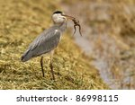 Grey heron white a frog in his...