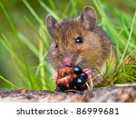 Wood mouse eating raspberry close up - stock photo