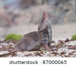 Greater white-toothed shrew (Crocidura russula) looking up to the sky - stock photo