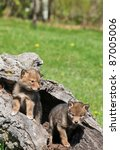 Coyote Pups In Hollowed Out Log
