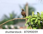 Beautiful Brown Myna Staring A...