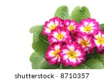 close ups of pink primula... | Shutterstock . vector #8710357