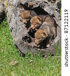 Coyote Pups Playing In Hollowe...