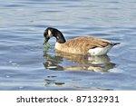 Canada Goose Eating Seaweed
