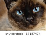 Cute Blue Eyed Siamese Cat...