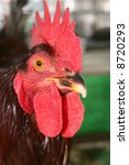 Close Up Of Rhode Island Red...