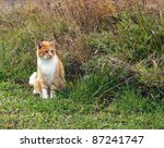 Stock photo orange tabby hides in the tall grass awaiting prey 87241747