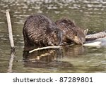 Beaver At Work In Early Spring...