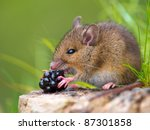 Wild wood mouse eating raspberry on log - stock photo