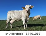 herd of young white cows on... | Shutterstock . vector #87401093