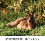 male kangaroo lying down for... | Shutterstock . vector #87401777