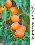 Fresh  Colorful Ripe Apricots...