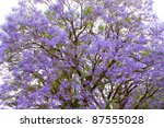 Close Up Of Jacaranda Tree In...