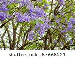 Violet Tree Jacaranda  Growing...