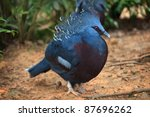 Victoria Crowned Pigeon  Goura...