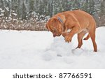 French Mastiff Puppy Playing...