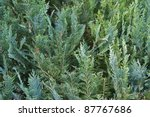 abstract background with thuja leaves - stock photo