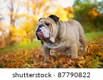 cute bulldog in a park in autumn | Shutterstock . vector #87790822
