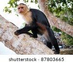 White Faced Capuchin Monkey On...