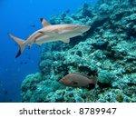 Blacktip Reef Shark (Carcharhinus melanopterus) and Peacock Cod (Cephalopholis argus)  swimming over tropical coral reef.