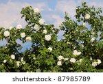 Stock photo white roses alba against blue sky 87985789