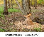 Tree gnawed by beavers - stock photo