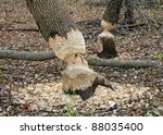 Trees in woods gnawed by beavers - stock photo