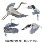 Great Blue Herons In Flight ...