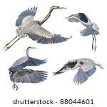 Great Blue Herons In Flight ...