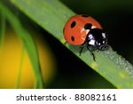 Ladybird Drinks Drops Of Water