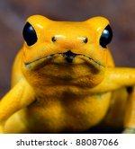 Poison Dart Frog Portrait Of...