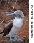 Blue Footed Booby  Galapagos.
