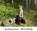 Coyote Pup Posing On A Hollow...