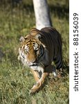 siberian tiger emerges from the ... | Shutterstock . vector #88156039