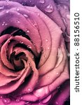 Stock photo close up of beautiful multicolored rose 88156510