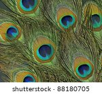 full frame abstract background with some colorful peacock feathers in dark back - stock photo