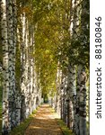 Avenue Of Birch Trees In Autum...