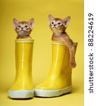 Stock photo abyssinian kittens age month 88224619