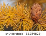 Larch tree with strobile in November - stock photo