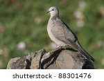 Spotted Dove  Streptopelia...